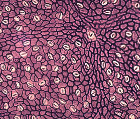 Carbon dioxide flows through the air gaps in the leaf, which appear in the microscopic image as pale oval patterns.