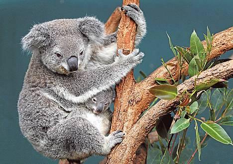 Koalaemo halasi lapsineen puuta Sydneyn eläinpuistossa 2011.