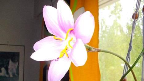 Eila Pellinen-Utriaisen heinälilja tekee vaaleanpunaiset kukat. Parhaimmillaan se on tehnyt kerralla 49 kukkaa.