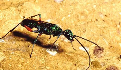 Trooppisen loispistiäisen Ampulex compressan toukat syövät isännän elävältä.