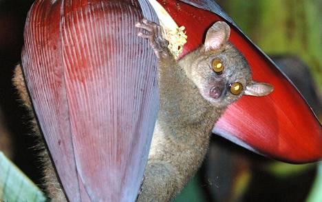 Madagaskarin pohjoisosissa asustavalla pohjoisen rottamakilla on ruumiinsa kokoon suhteutettuna suuret kivekset.
