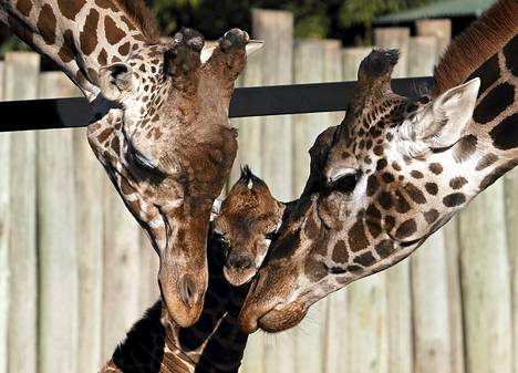 Kirahvi-isä Buddy (vas.) ja emo Jacky pitivät huolta kuuden päivän vanhasta poikasestaan Buenos Airesin eläintarhassa. Eläintarha julkisti lapsiyleisölle nimikilpailun, jotta metrin mittaiselle ja 85-kiloiselle pikkukirahville saataisin nimi.