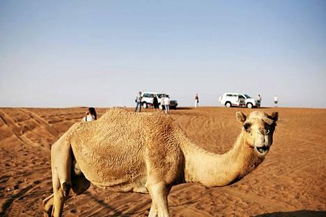 Kamelit ovat myös kuormajuhtia ja niillä jopa kilpaillaan, joten monet ihmiset ovat kosketuksissa kameleiden ja niiden eritteiden kanssa.