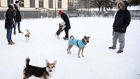 Koirat omistajineen pääsivät maanantaina temmeltämään talvisessa säässä Helsingissä Sinebrychoffin puiston koirapuistossa.