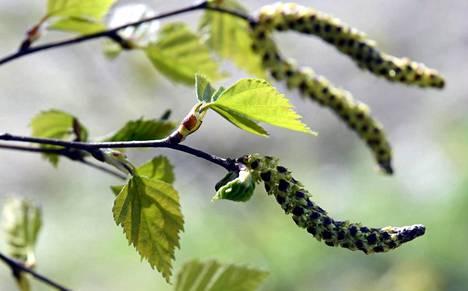 Koivun norkkojen määrä kertoo jo syksyllä, kuinka raju allergiakeväästä tulee.