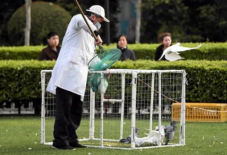 Terveysviranomainen keräsi puluja häkkiiin Shanghaissa viedäkseen ne teurastettavaksi lintuinfluenssavaaran takia.