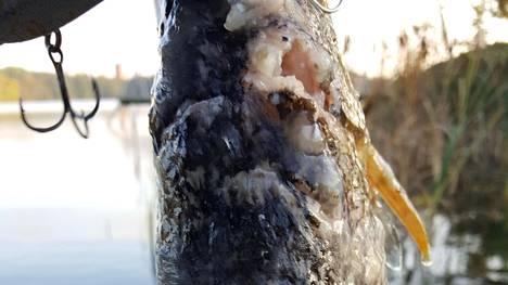 Juuso Mannisen kalastamia haukia peitti vaalea epämuodostuma.