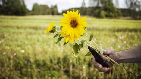 Pekka Hautala kasvattaa vapaa-ajallaan auringonkukkia Espoon pelloilla. Kuva on Puolarmaarin auringonkukkapellolta.