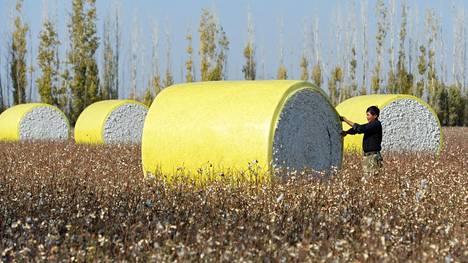 Mies tarkasteli puuvillapaaleja Xinjiangin autonomisen alueen Manasissa lokakuussa.