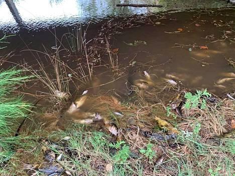 Macleay-joen rannoille ajautui kuolleita kaloja Australiassa.