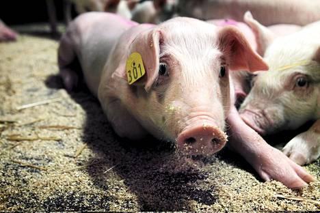Kuluttajat haluaisivat saada nykyistä tarkempaa tietoa sianlihan tuotantoketjusta.