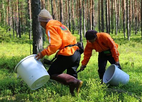 Ulkomaisia marjanpoimijoita on ohjeistettu esimerkiksi jokamiehenoikeuksista.