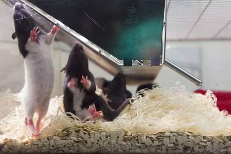 Koe-eläinrottia Viikin koe-eläinpuistossa Helsingissä. Kuvan rotat eivät liity lisäainetutkimuksiin.