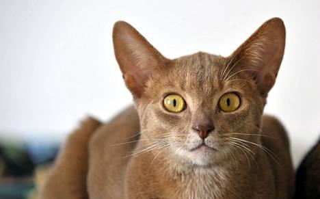 Toksoplasmaloinen voi tarttua kissasta ihmiseen.