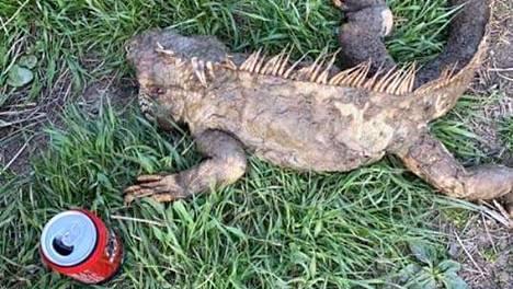 Jenni Riihinen nosti joesta 120-senttisen löydön, kuolleen liskon.