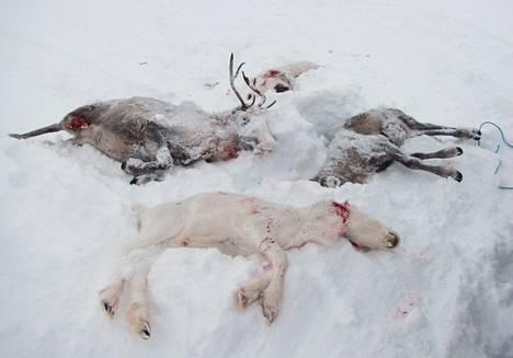 Ahman tappamiksi epäiltyjä poroja poronhoitoalueella Lapissa. Kuva on paliskuntayhdistyksen jakama vuodelta 2013.