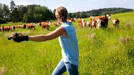 Johanna Jahkola siirtää karjan ja aitanarun kaksi kertaa päivässä tilallaan Urjalassa.