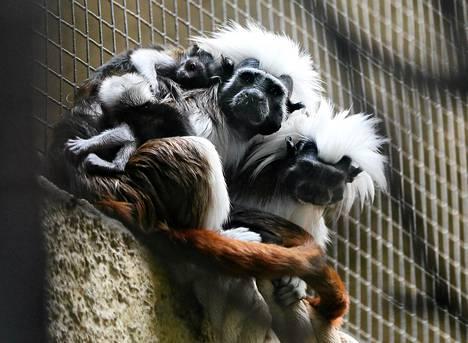 Valkotöyhtötamariiniperhe Berliinin eläintarhassa.
