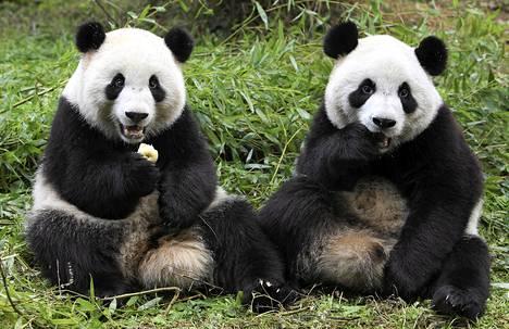 Jättiläispandat Qiqi (vas.) ja Zhizhi mutustelevat ruokaa pandojen kasvatuskeskuksessa Chengdussa.