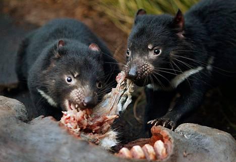Suusyöpä on verottanut tasmanian tuholaisen kannan puoleen 10 vuodessa. Niitä elää villeinä enää ainoastaan Tasmanian saarella. Kuvan eläimet ovat Sydneyn eläintarhasta, jossa niiden geenikartaa on tutkittu.