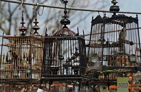 Tuhannet lintujenomistajat pitivät lemmikkejään häkeissä osallistuessaan lintujen laulukilpailuihin Thaimaan eteläisessä Narathiwatin maakunnassa.