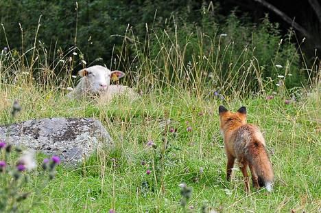 Ruotsissa asuva Eino Hämäläinen sai napattua kuvan, kun ketunpoika kävi ihmettelemässä lammasta Eskilstunan Sörfjärdenissä. Kohtaaminen sujui ystävällisesti, eikä kumpikaan näyttänyt pelkäävän toistaan.