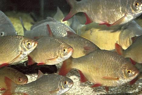Sorvat ja kaikki muutkin kalat viestivät keskenään monin tavoin.