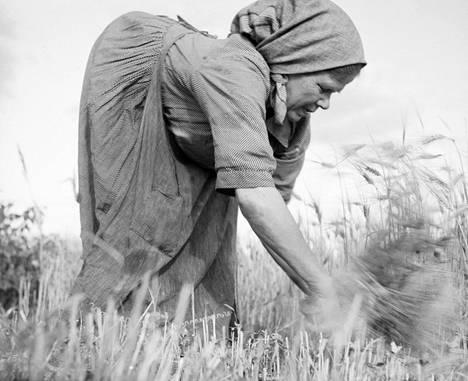 """Vaivainen muori leikkaa viljaa (Karttula, 1925). """"Ivar Ekström (1891–1971) oli alkujaan helsinkiläinen, ruotsia äidinkielenään puhunut ja seikkailuja janonnut nuorukainen, joka päätyi metsäpomoksi A. Ahlström Oy:n palvelukseen Varkauteen. Hän valokuvasi futuristisia näkymiä teollisuudesta, mutta maaseudulla Ekströmiä kiinnosti eniten köyhä, raskaan työn ja puutteen painama 'metsäkansa'."""""""