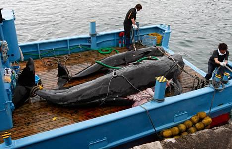 Japanilaiset valaanpyytäjät toivat saaliinsa Taijin satamaan kesäkuussa 2008.