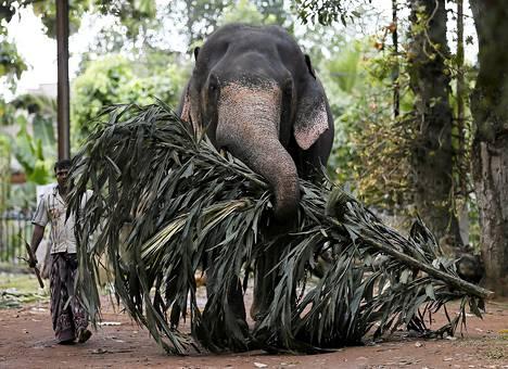 Mies talutti norsua buddalaistemppelin luona Colombossa, Sri Lankassa.