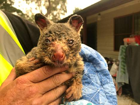 Pelastettu opossumi joulukuussa 2019.
