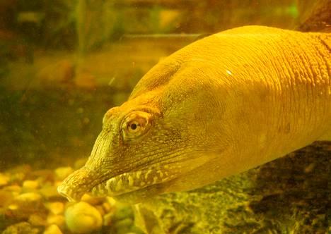 Kiinalainen pehmeäkilpikonna (Pelodiscus sinensis)