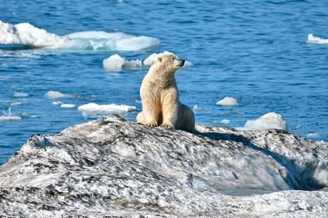 Arktisen alueen jään sulaminen tekee jääkarhujen elämän vaikeaksi.