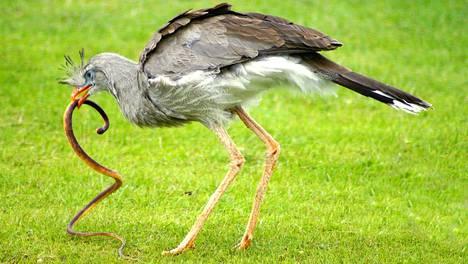 Käärmekurki kasvaa metrin mittaiseksi ja sillä on samanlainen raatelukynsi kuin Velociraptoreilla.