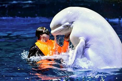 Kouluttaja ja maitovalas uivat Kiinan Tianjinissa sijaitsevassa merieläinpuistossa.