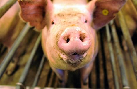 Sikoja käytetään on käytetty koe-eläiminä Suomessakin, mutta Uuden-Seelannin veriroiskekoe oli varsin poikkeuksellinen. Kuvan sika on tuotanto- ei koe-eläin.