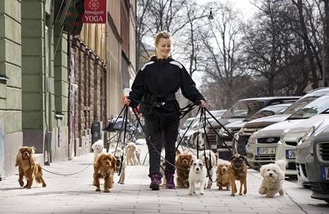 Ruotsissa ei katsota hyvällä, jos koiran hylkää kotiin koko työpäiväksi. Koirapäiväkotien määrä on kasvanut räjähdysmäisesti. Hund i Stan -päiväkodin työntekijä Madelene Johansson vei ulos kerralla kymmenen pikkukoiraa Tukholmassa.
