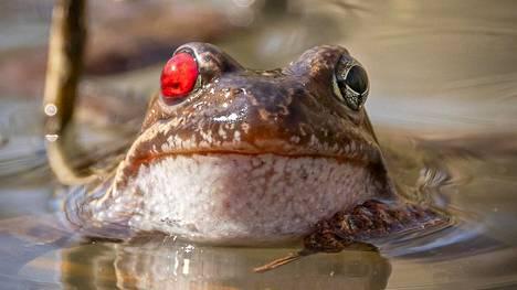 Naarassammakon verinen silmä on seurausta parittelusta, päättelee sammakkoeläimiin perehtynyt eläinlääkäri Johanna Raulio.