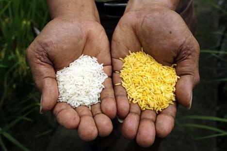 Kultainen riisi (oikealla) saa värinsä siihen siirretyistä maissin geeneistä.