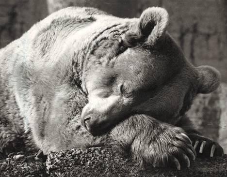 Hävettää, hävettää niin kamalasti ihmisten puolesta, vai mitä mahtaneekaan uneksia karhu.