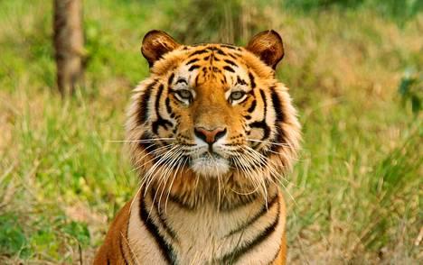Bengalin tiikeri tiikerien pelastuskeskuksessa Siligurin kaupungin lähellä Intiassa 2010.