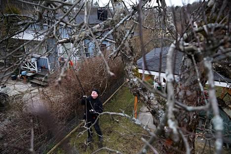 31. maaliskuuta: Martti Sivinen leikkasi omenapuun oksia Herttoniemen siirtolapuutarhassa. Yleensä Sivinen leikkaa omenapuut huhtikuun puolivälissä.