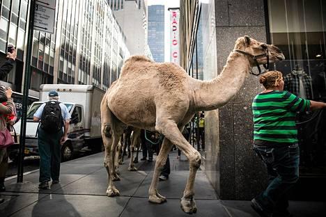 Tiistaina New Yorkin kaduilla talutettiin kameleita amerikkalaisen Radio City Rockettesin jouluesityksen mainoskuvauksiin. Rockettes on ikoninen tanssiorganisaatio, joka esiintyy Radio City Music Hallissa Madison Square Gardenissa 7.–31. joulukuuta.