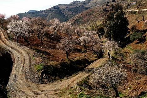 Mantelipuuviljelmä Alozainassa Etelä-Espanjassa.