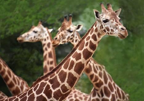 Muun muassa salametsästys, kaivostoiminta ja maanviljely ovat romahduttaneet kirahvien määrän 30 vuodessa.