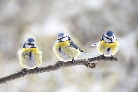 Sinitiaiset istuskelivat oksalla Saksassa tammikuussa.
