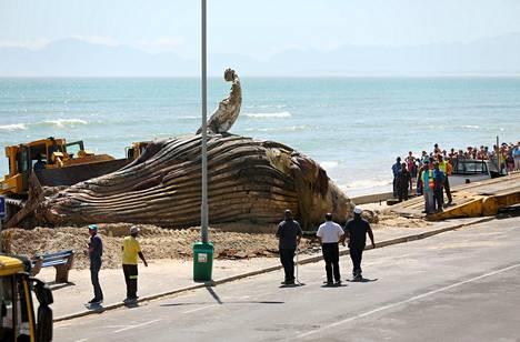 Noin 14-metriä pitkä ryhävalas ajautui kuolleena suositulle Strand-uimarannalle Kapkaupungissa.