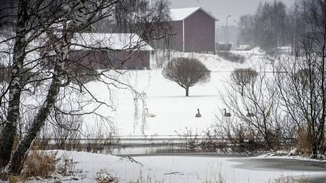Entisen järven alue on ihmisille vaikeakulkuista, mutta joutsenet ovat eri mieltä.