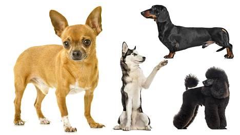 Chihuahuat ja mäyräkoirat ovat koiraroduista keskimääräistä pelokkaampia, ahdistuneempia sekä aggressiivisempia, omistajien arvioihin perustuva tutkimus kertoo. Siperianhuskyt erottuvat puolestaan vähäisen aggressiivisuuden suhteen, ja villakoirat ovat huomiohakuisia.