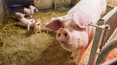 Afrikkalainen sikarutto on johtanut sikojen joukkolopettamisiin Virossa ja Venäjällä. Jos virus päätyy sikalaan, pitää sikalan kaikki siat lopettaa ja tilat pestä ja desinfioida.